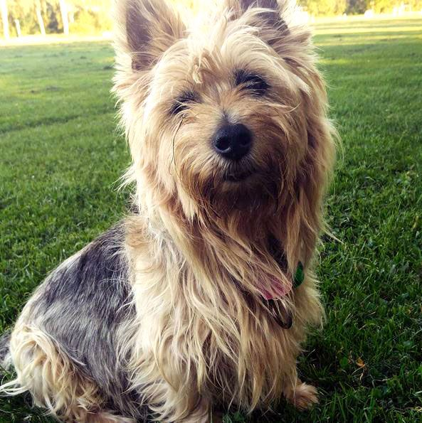 Australian Terrier Dog Breed Information, Pictures ...