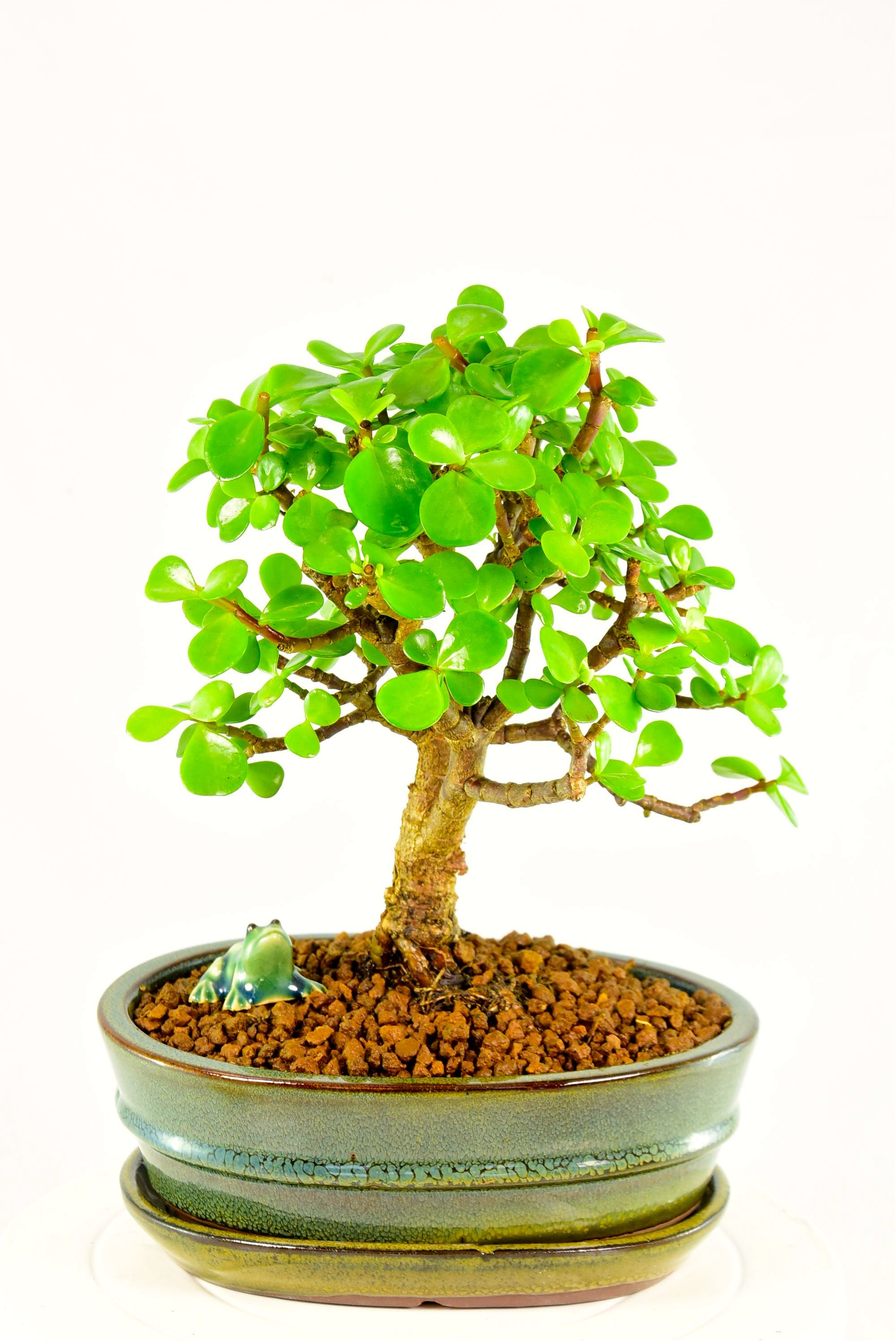 Bonsai Tree Meaning In Feng Shui Bonsai Tree