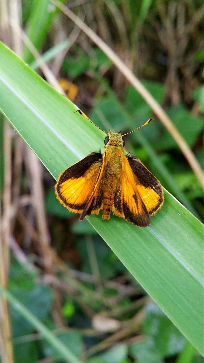Mariposa Patrona Lepidoptera hesperiidae