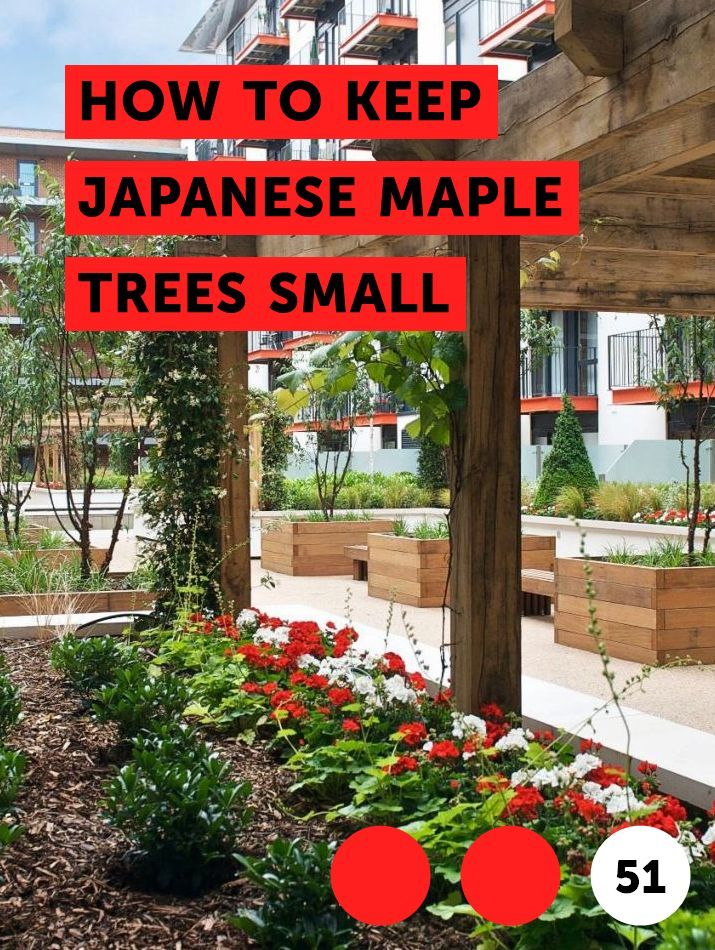 How to Keep Japanese Maple Trees Small #japanesemaple