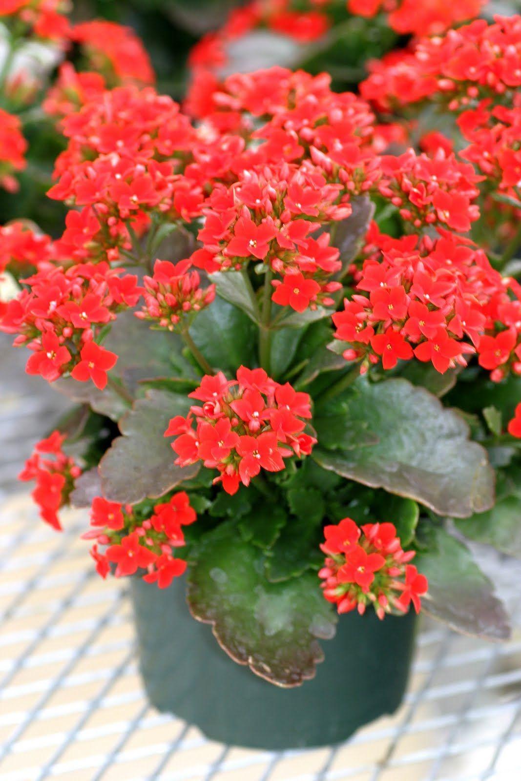 Kalanchoe Flowering Succulent