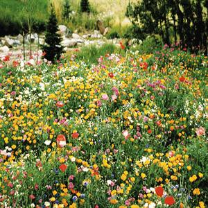 Wildflower Seed:Perennial Wildflower Seeds  Fresh Seed  FREE Shipping