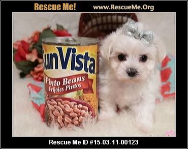 Lino Male Maltese Age Young Puppy Compatibility Good W Most