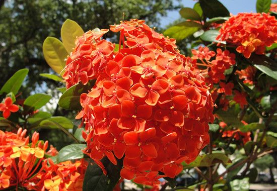 Red Orange Hydrangeas Budget Flowers Planting Hydrangeas Flower Pots Outdoor