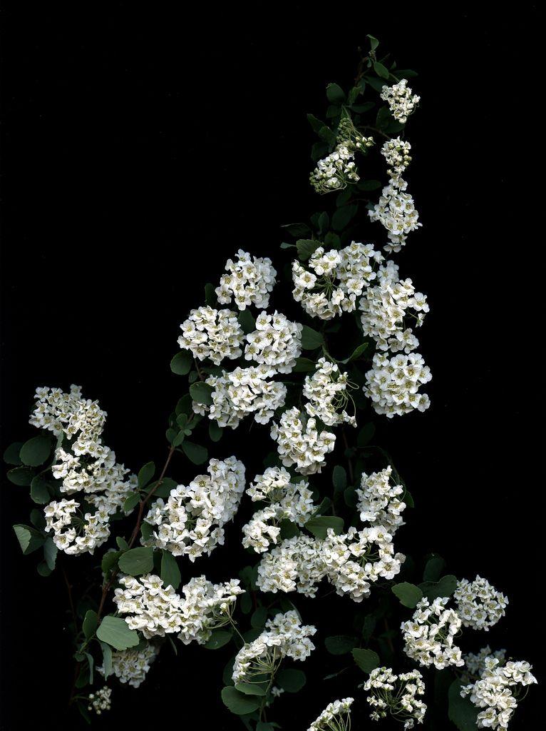 54324-01 Spiraea x vanhouttei | Explore horticultural art's … | Flickr - Photo Sharing!