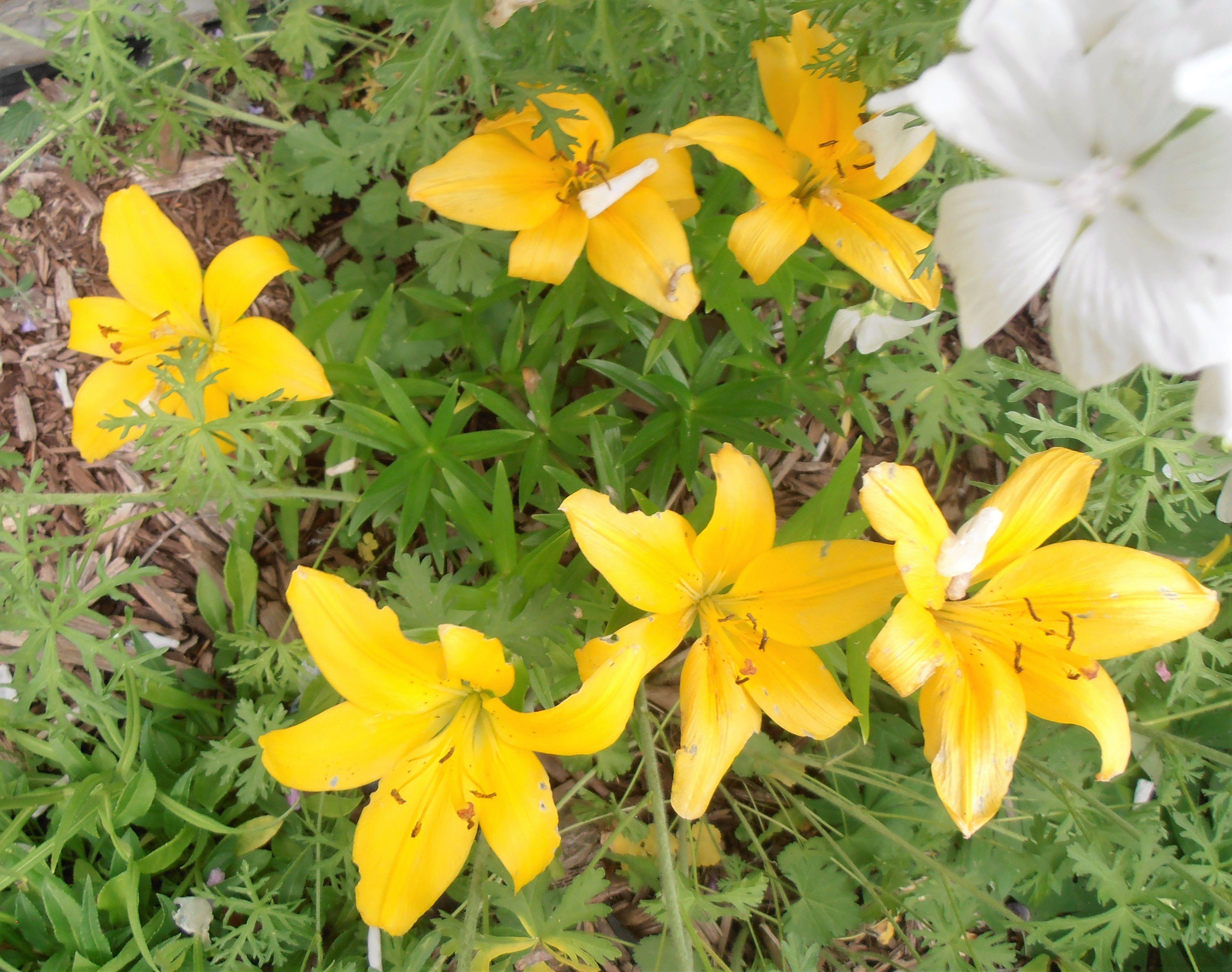 Lilies yellow flowers flowers flower garden yellow
