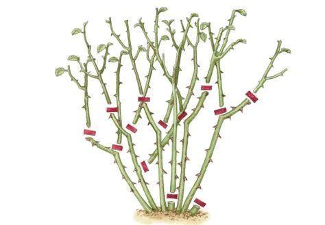 rosen schneiden in 4 schritten vrt 3 garten rosen schneiden a gartenpflanzen. Black Bedroom Furniture Sets. Home Design Ideas