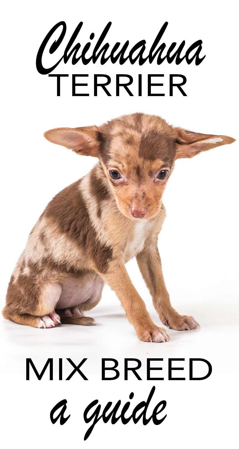 Chihuahua Terrier Mix What To Expect From This Unusual Mix Breed