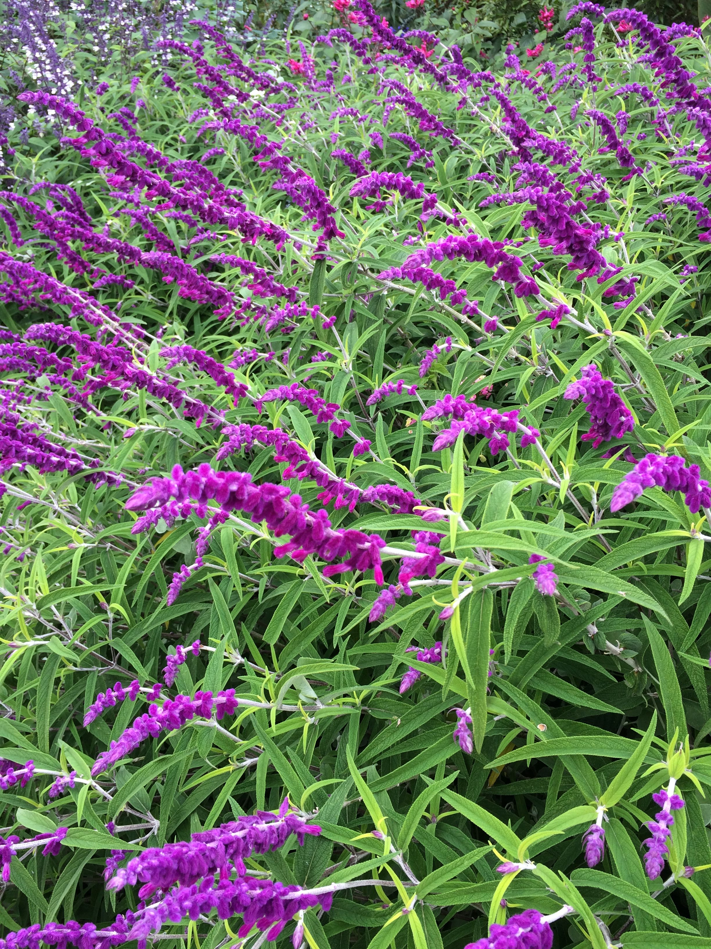 Picture of Live Mexican Bush Sage aka Salvia leucantha 'Midnight' Plant Fit 1 Gallon Pot
