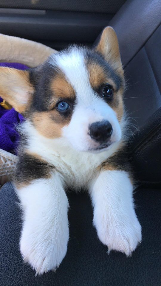 Precious Gets Everyone With Her One Blue Eye Corgi
