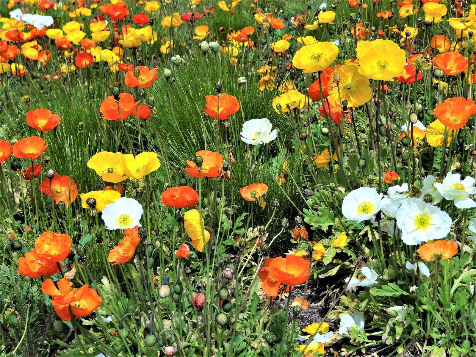 Buntes Mohnblumenfeld Summer Flowers Plants Flowers