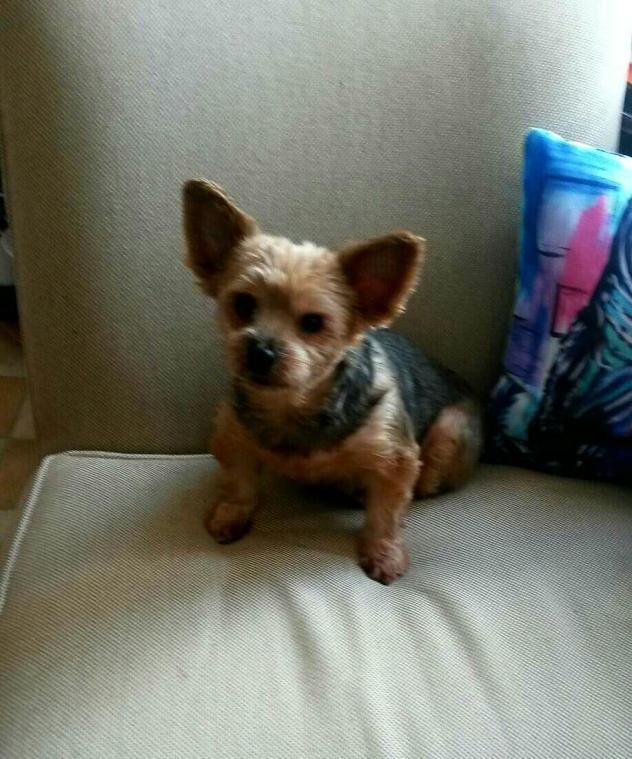 Adopt Jackie On Yorkshire Terrier Dog Adoption In Missouri Yorkshire Terrier