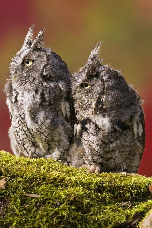 Eastern Screech Owls|Jerry Peltier