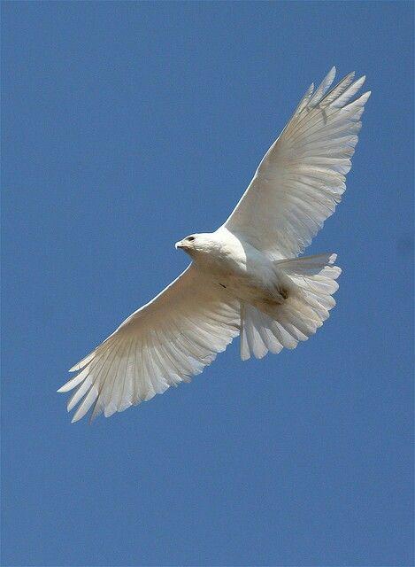 White hawk flying | Beautiful birds, Birds, Wild birds ...