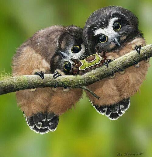 Baby Saw Whet Owls and caterpillar