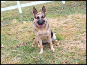 Sheba Is An Adoptable German Shepherd Dog Dog In Dedham Ma