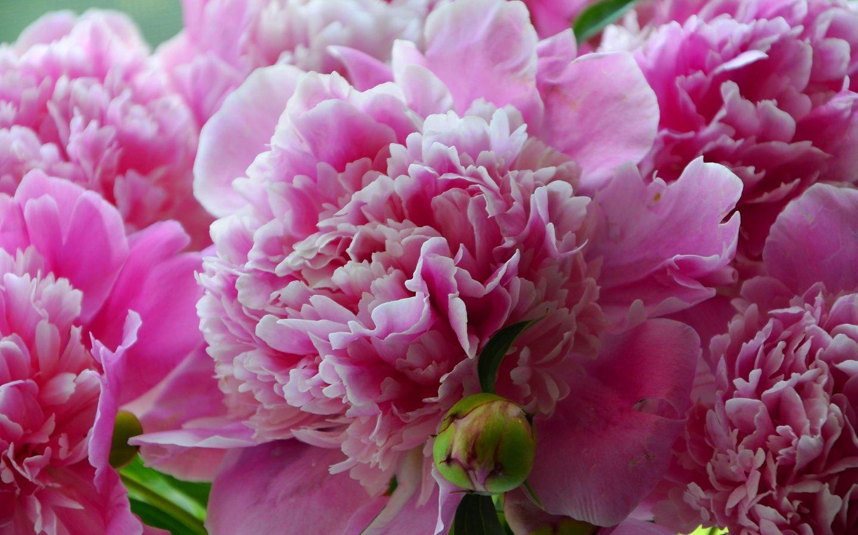 Картинки лето цветы пионы