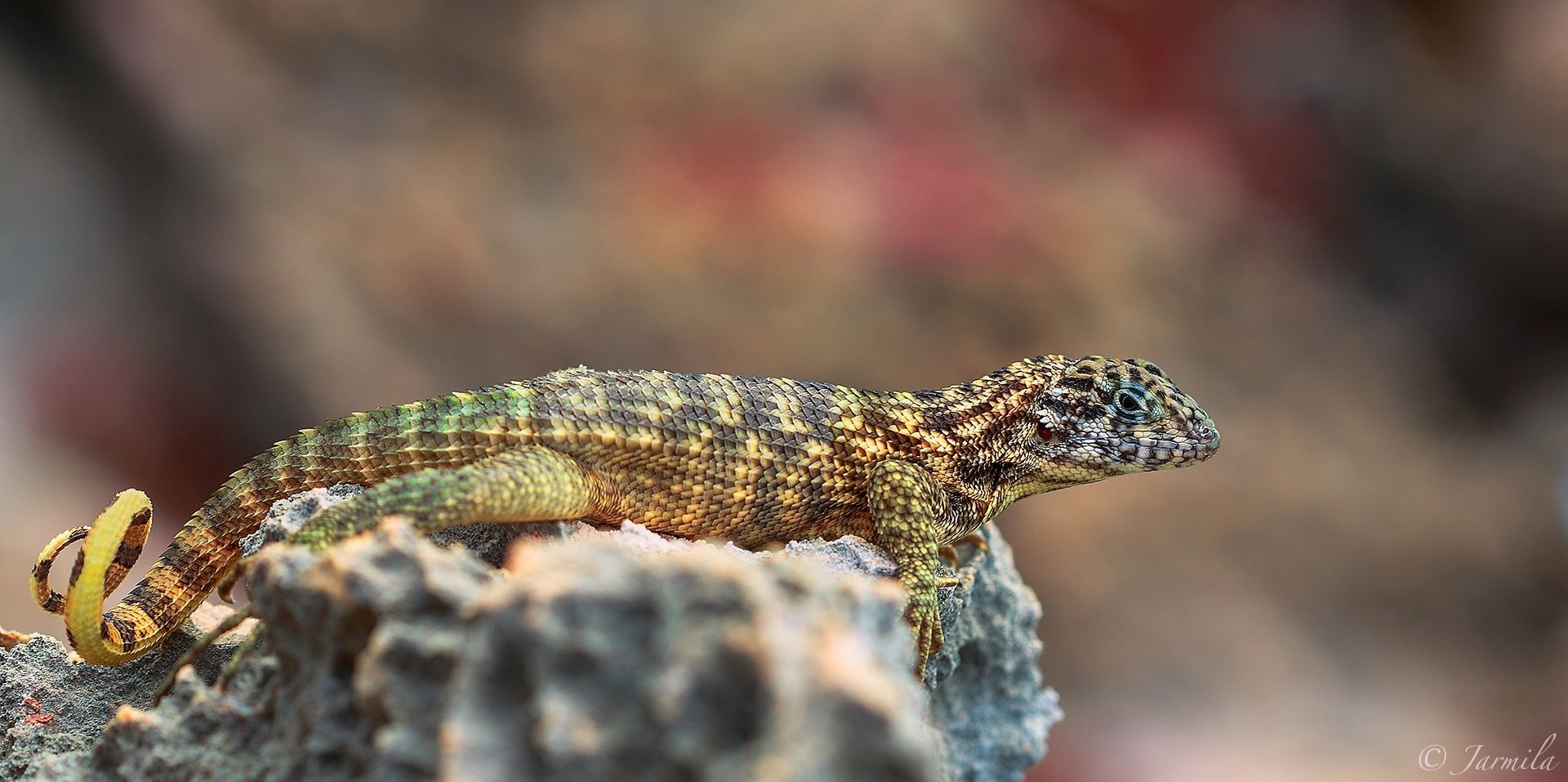 The curly tailed lizards by © Jarmila © © ©  on 500px