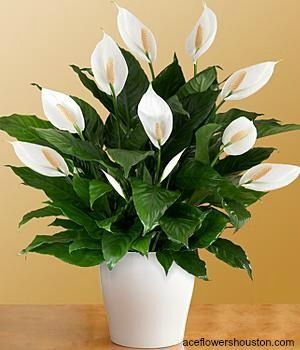 lily plant peace lily flowers plants indoor tropical plants gardening houseplants