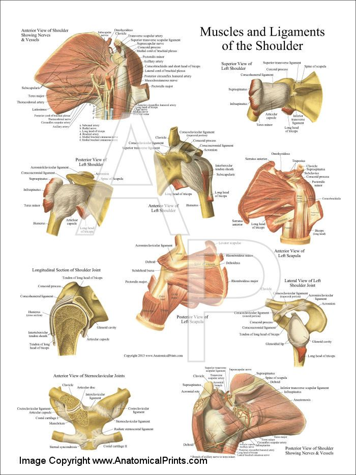 Muscles And Ligaments Of The Shoulder Poster 18 X 24 Anatomy