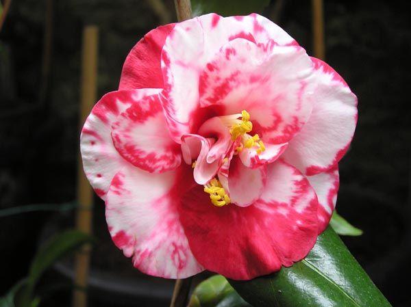Camellia Japonica Apollo Paul S U K C 1900 Camellia Flower Power Clematis