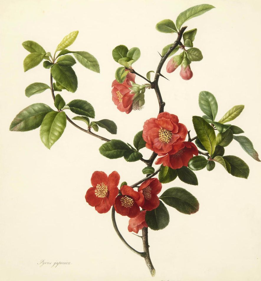 Pyrus Japonica Japanese Quince 1806 Mary Lawrance Japanese