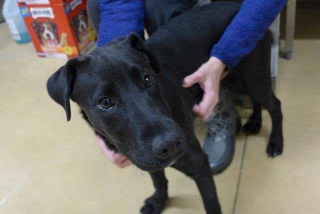 Labrador Retriever dog for Adoption in Maple Grove, MN. ADN-414763 on PuppyFinder.com Gender: Male. Age:
