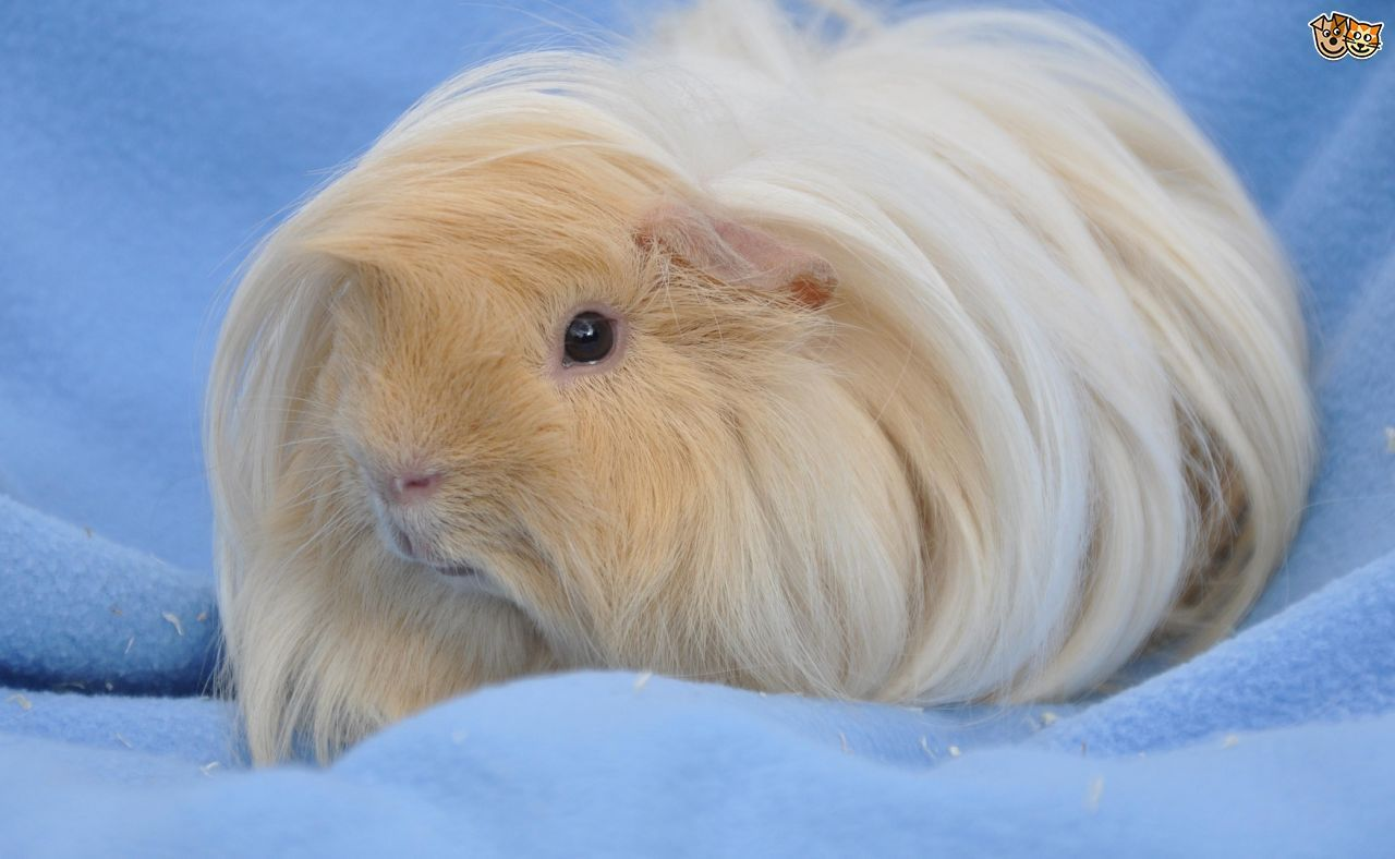 Peruvian Guinea Pigs are Perfect Pet for Children | Peruvian ...