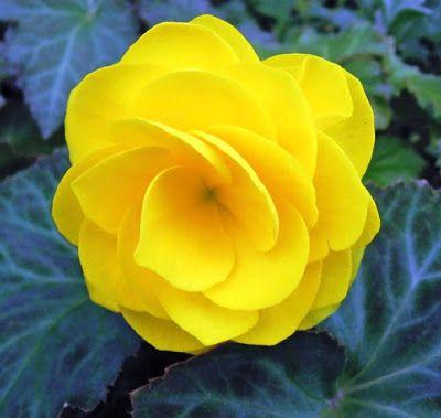 Bunga Tercantik Di Dunia Begonia Bunga Begonia Kecantikan