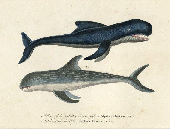 1838 enmarañada historia antigua ballena por AntiquePrintBoutique