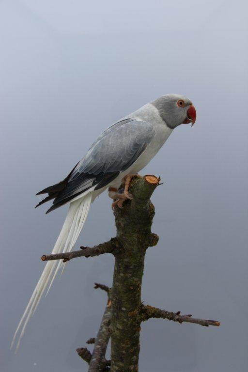 Indian Ringneck Mutation Pet Birds Tropical Animals Beautiful Birds