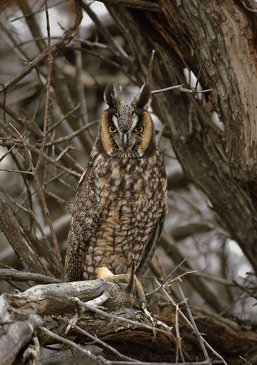 Longeared Owl (Ransuil) seen at Oosterbeek, the