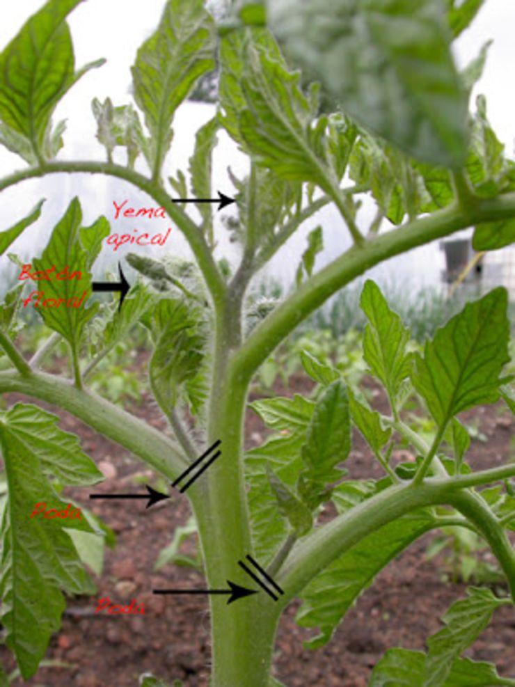 Poda Do Tomate Cultivo De Hortalizas Plantas De Tomate Y