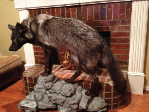 Awesome Black Wolf Taxidermy Mount. Bad Ass.
