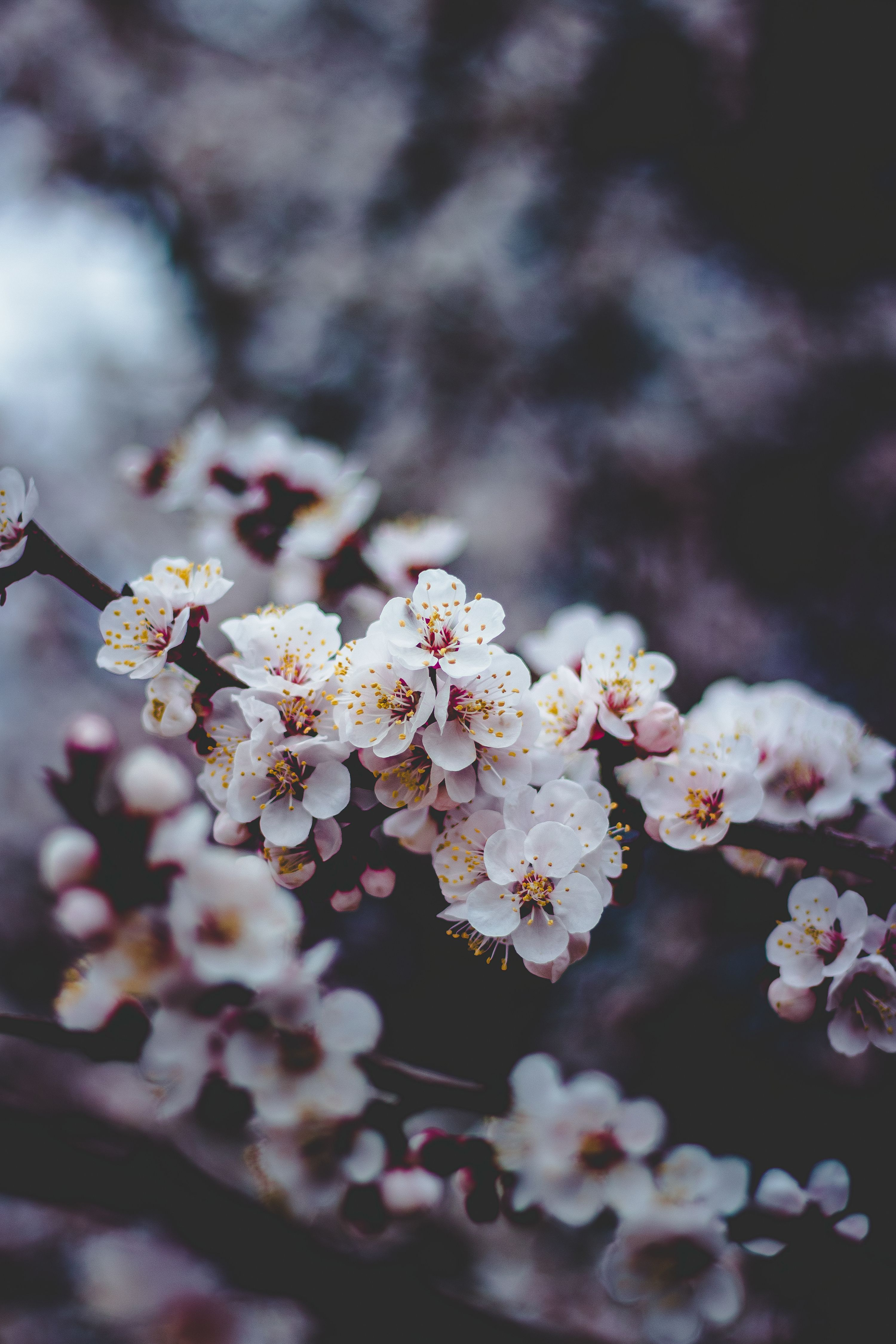 Bokeh Flowers Cherry Blossoms Bokeh Flowers Flower Pictures Macro Photography Flowers Flowers