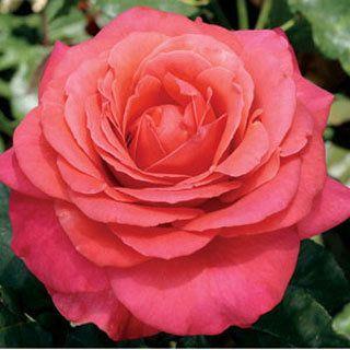 Rose Lady Bird Hybrid Tea