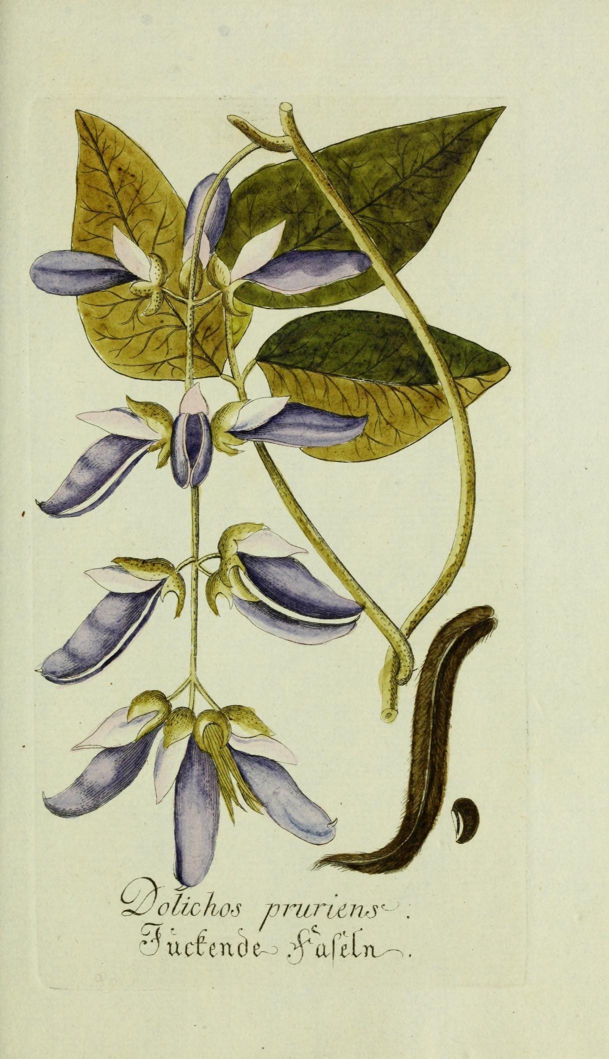Jarhg.1 (1778) - Plantarum indigenarum et exoticarum icones ad vivum ...