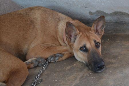 German Shepherd Great Dane Mix Great Dane Mix Protective Dog