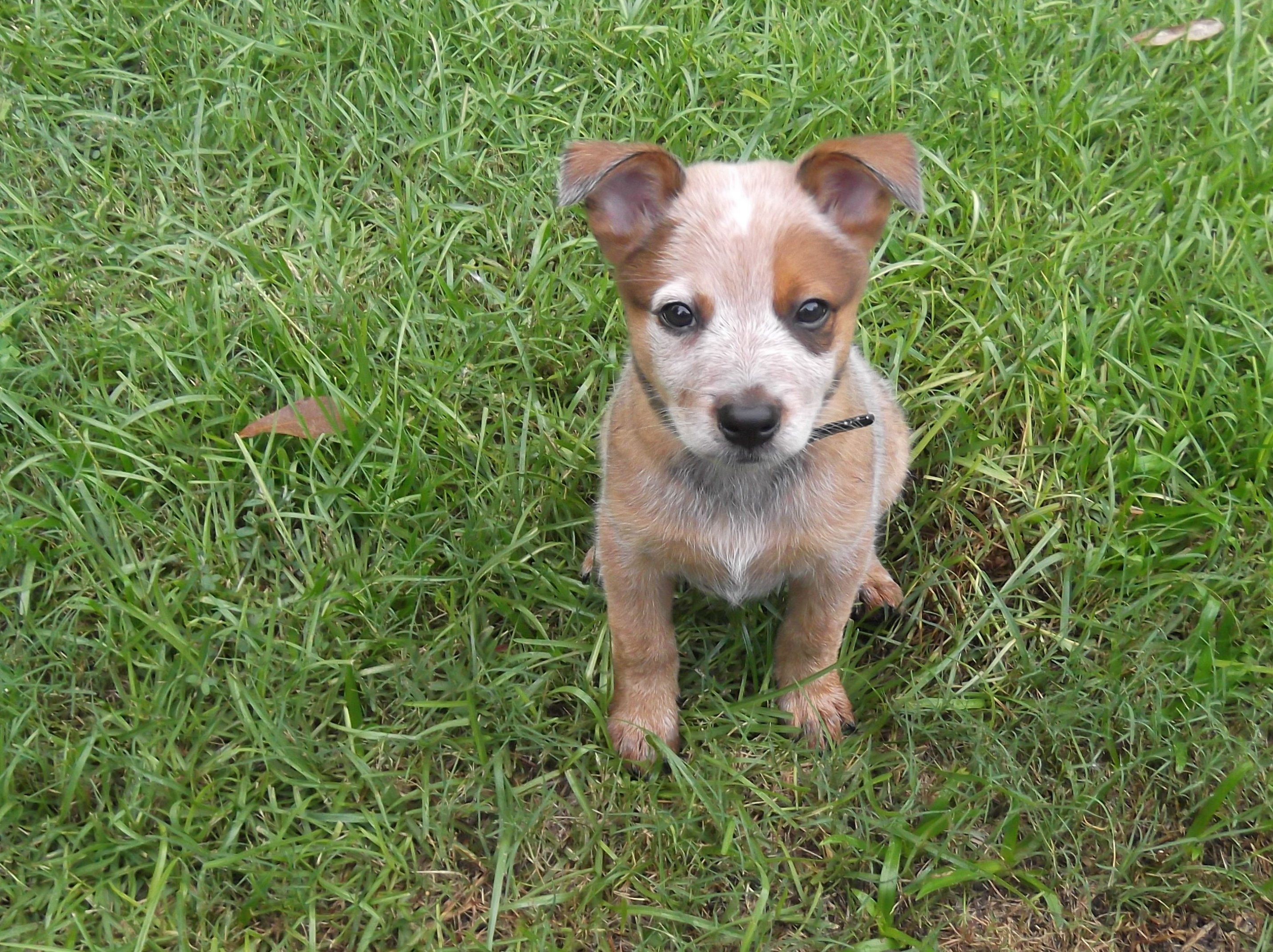 red heeler puppy-my next animal! :) | Dogs=my and Tucker's ...