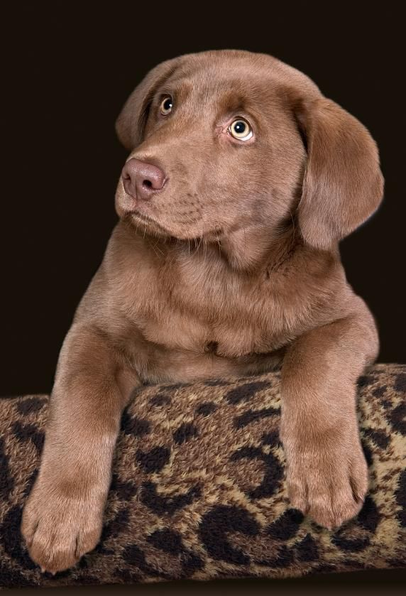 Chocolate Lab Puppy Names Chocolate lab puppies, Puppy