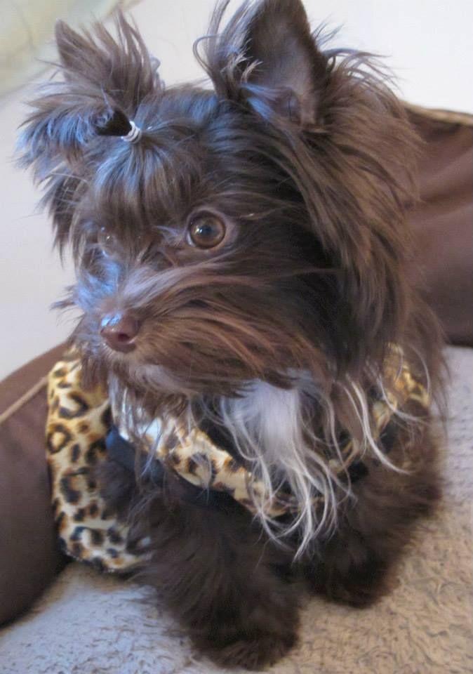 My Sweet Dark Chocolate Girl Lulu Kahlua Yorkie Dogs Yorkie Yorkie Puppy