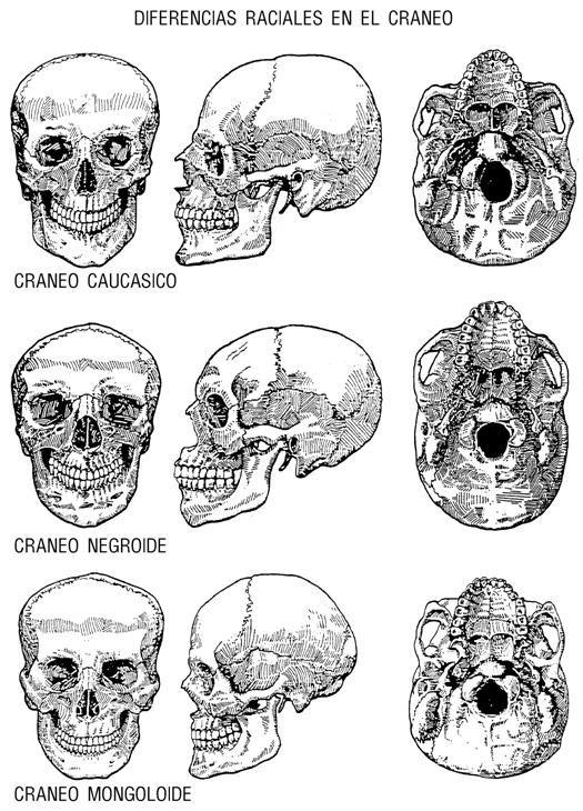 Notas de antropología para medicos forenses (página 3) - Monografias ...