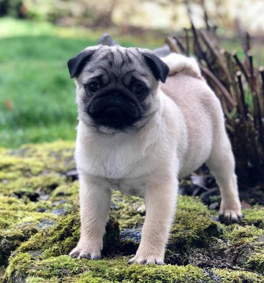 Carlin Pug Découvrez Nos Chiens Et Chiots Carlin Sable à Masque Noir Et Noir De Hautes Lignées Lof L 039 élevage Quot Pug Puppies Cute Pug Puppies Pugs