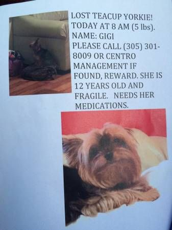 Lost Teacup Yorkie 5 Pounds She Is 12 Years Old And Needs Her