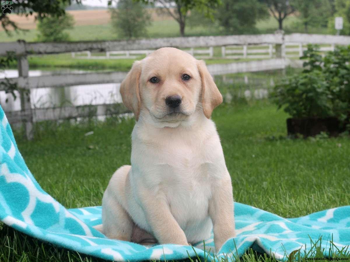 Heidi Labrador Retriever Yellow Puppy For Sale In Pennsylvania With Images Labrador Retriever Labrador Yellow Labrador Puppy