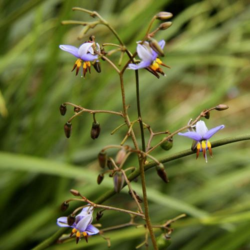 Dianella Longifolia Seeds Smooth Flax Lily Pale Flax Lily Dianella Laevis Flower Seeds Vegetable Seeds Online Seeds