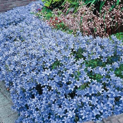 Spring Hill Nurseries 2 5 In Pot Dalmatin Bellflower Campanula Live Deciduous Plant Blue Flowering Perennial 1 Pack 69278 The Home Depot In 2020 Spring Hill Nursery Perennials Shade Plants