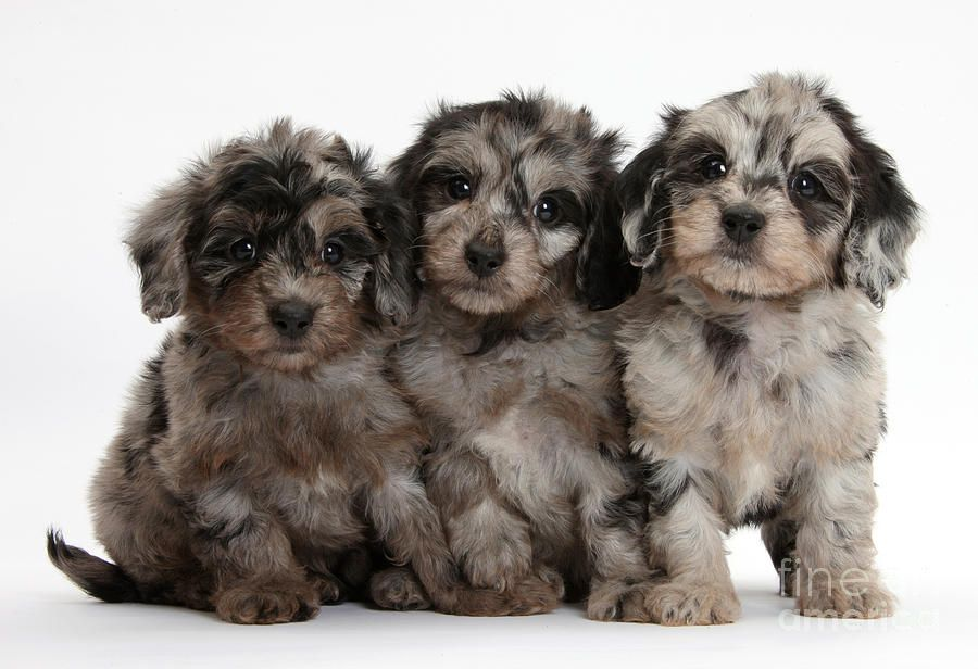 Daxiedoodle Poodle X Dachshund Puppies Cute Puppies Kittens