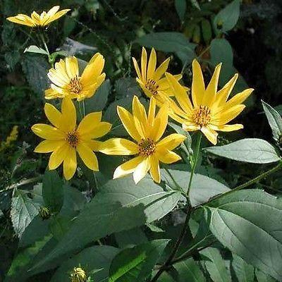 50+ Wild Sunflower Seeds , Under The Sun Seeds
