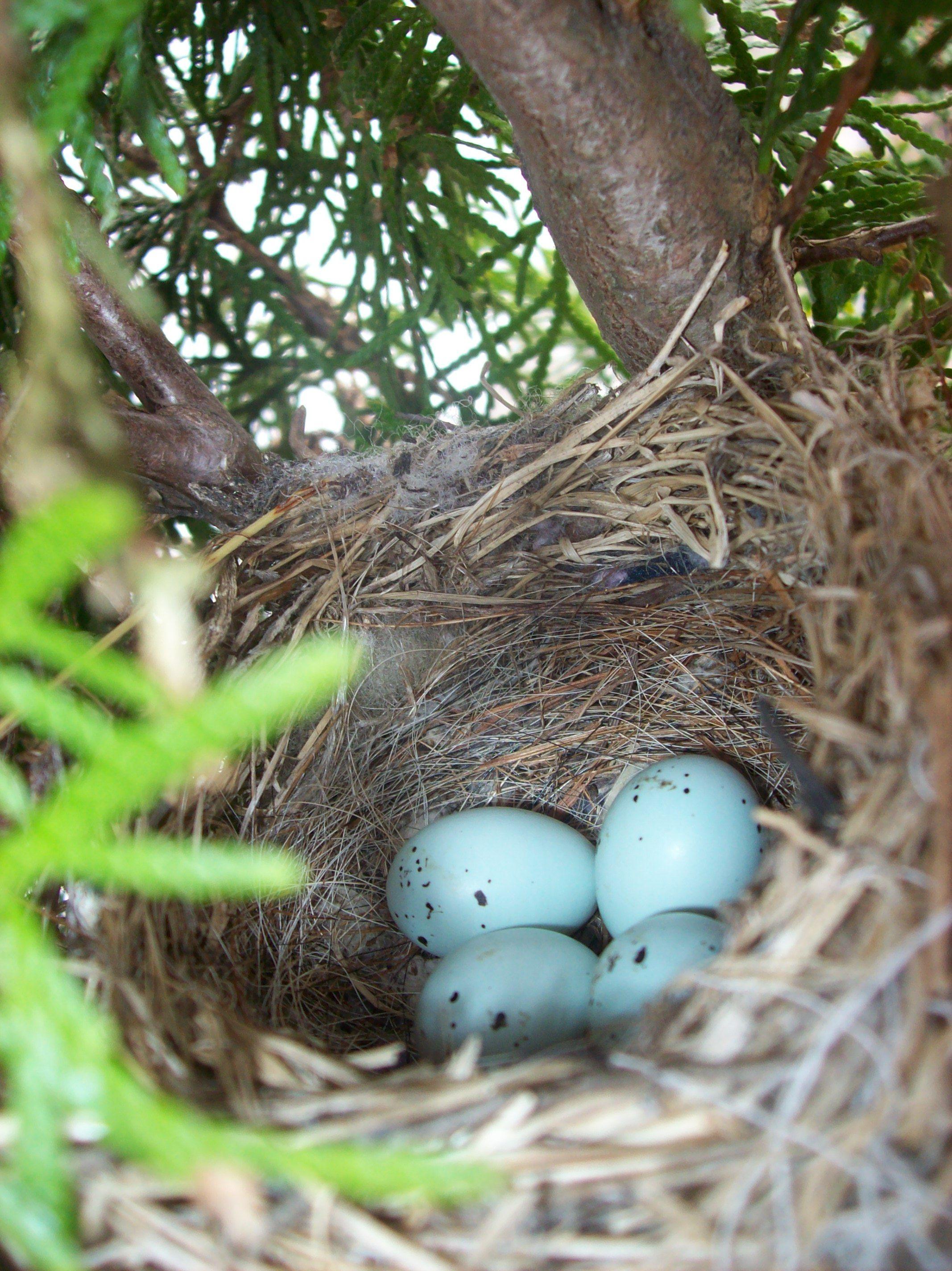 Birds nest in front of my daugthers window Bird nest, Eggs